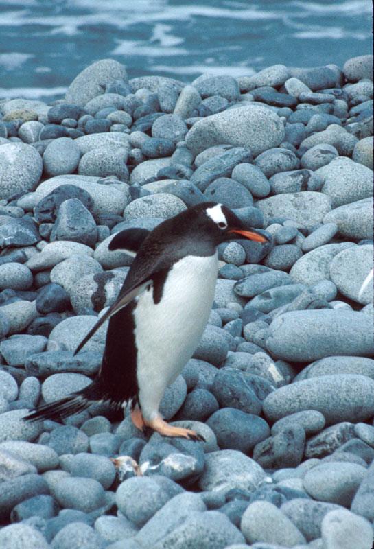 Gentoo Penguin, Greenwich Island