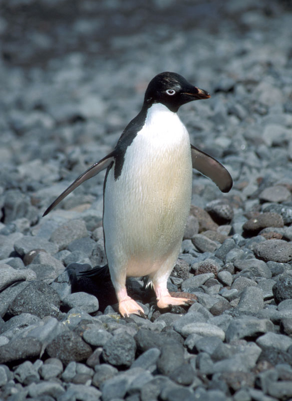 Adélie Penguin, Pygoscelis adeliae, Paulet Island