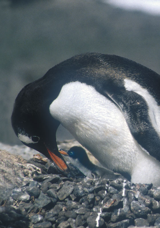 Gentoo Penguin and Chick, Brabant Island
