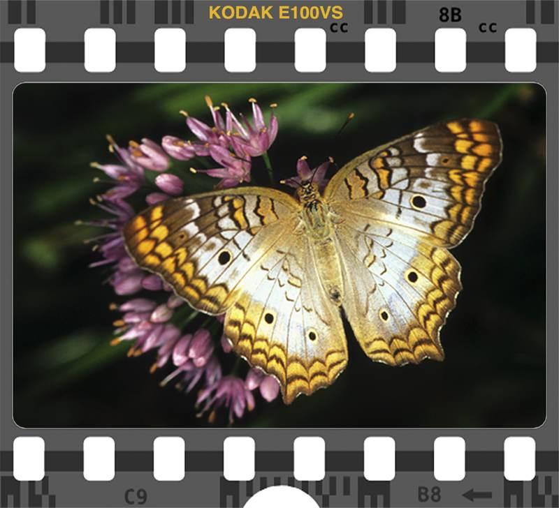 Kodak E 100VS White Peacock