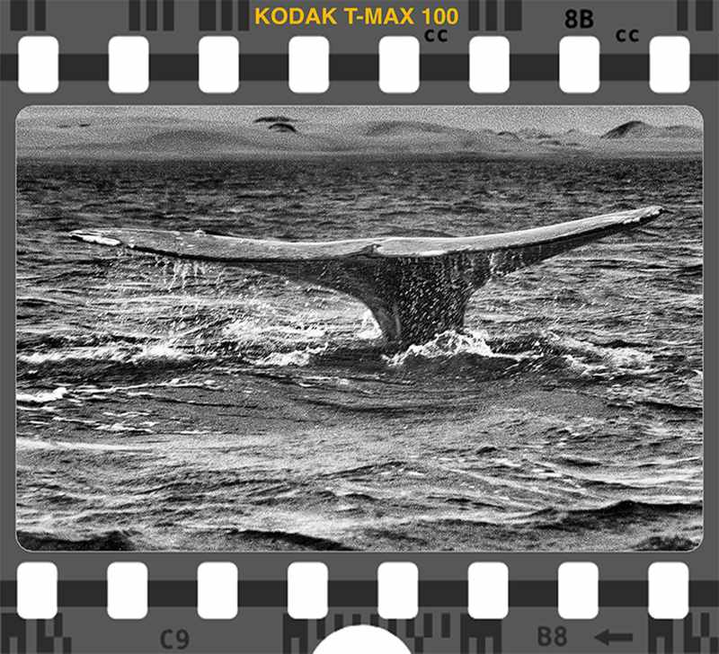 Kodak T Max 100 Whale Fluke