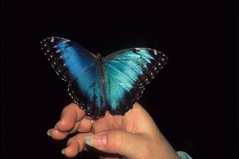 06-BlueMorpho