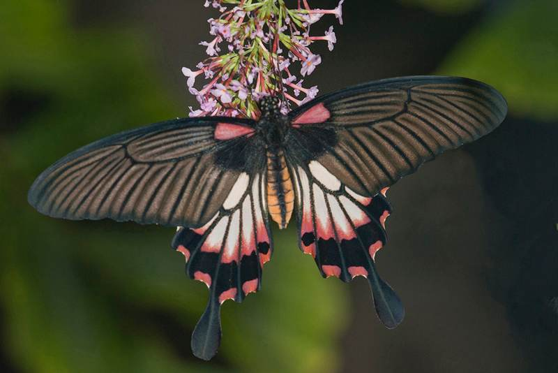 Great Mormon Swallowtail, Papilio memnon agent