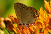 American Copper Butterfly, Lycaena pleas