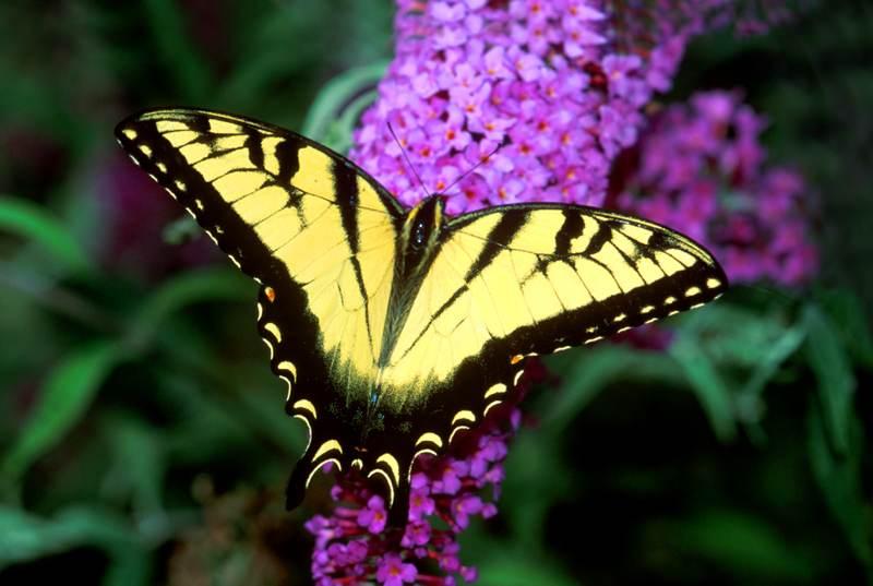 Eastern Tiger Swallowtail, Papipio multicaudata