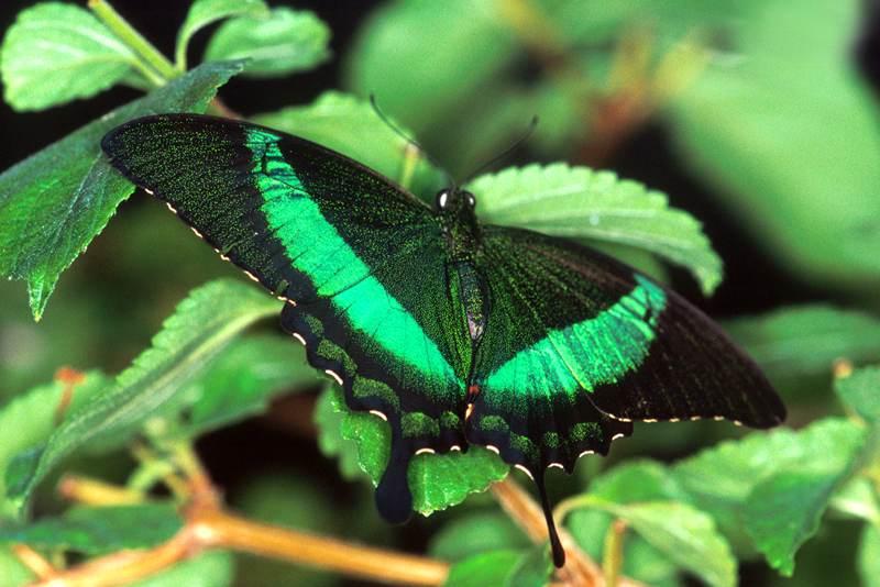Emerald Swallowtail, Papilla Palinurus