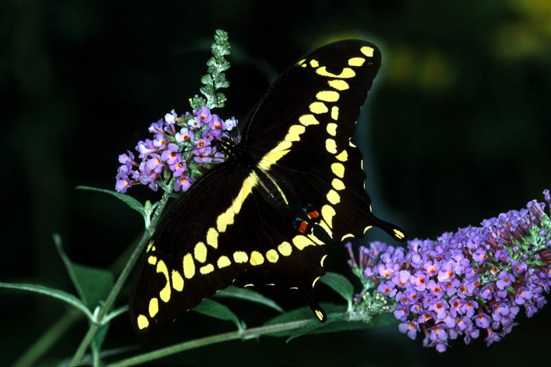 Giant Swallowtail, Papilla cresphontes