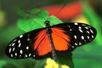 The Hecale Longwing, Heliconius heckle