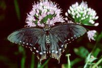 PipeVine Swallowtail, Battus philenor