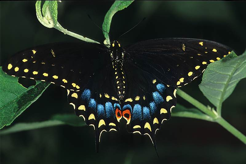 Eastern Black Swallowtail, Papilio polygenes asters