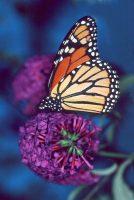Holly's Monarch, Danaus plexippus