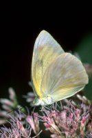 Great Southern White, Ascia monuste
