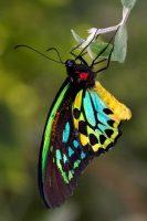 Cairns Birdwing, Ornithoptera euphorion