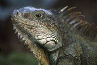 Land Iguana Conolophus subcristatus & C. pallidus