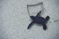 Green Sea Turtle Chelonia mydas Punta Cormorant, Floreana Island