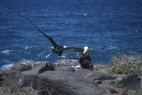 Waved AlbatrossPhoebastria irrorata, Española (Hood Island)