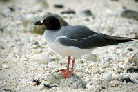 Swallow-tailed Gull Creagrus furcatus Genovesa (Tower Island)