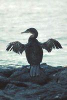 Flightless Cormorant Nannopterum harrisi