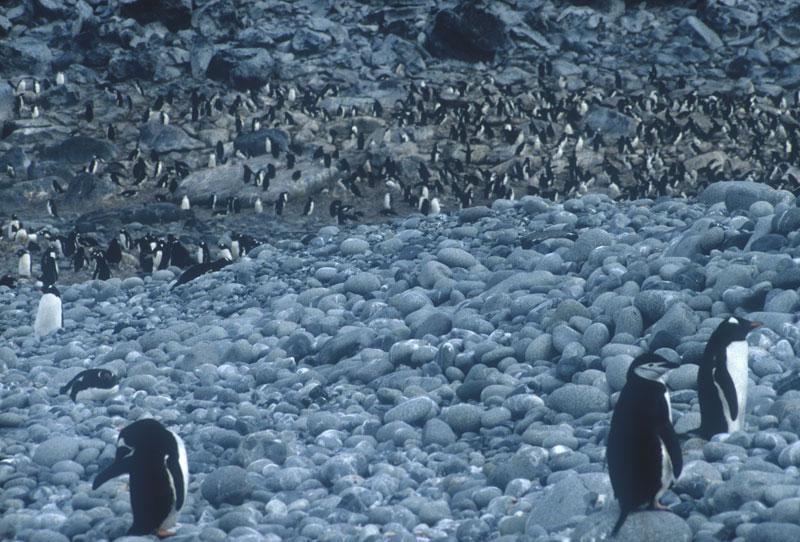 Penguin Colony, Greenwich Island