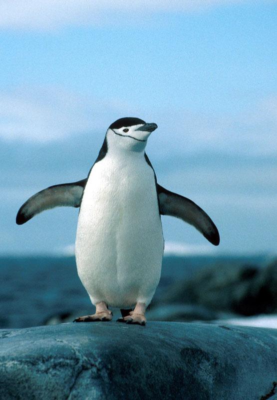 Chinstrap Penguin, Pygoscelis Antarctica, Hydrurga Rocks