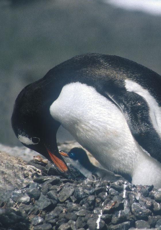 Gentoo Penguin and Chick, Brabant Island