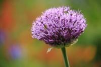 Giverny Allium