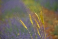 Provence Lavender and Wheat