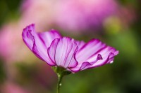 Giverny Pink