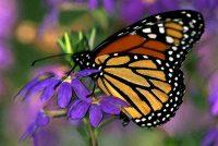 Moment of the Monarch, Danaus plexippus