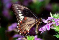 Polydamas Swallowtail, Battus polydamas lucayus