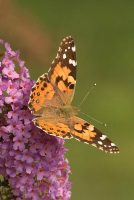 Painted Lady, Vanessa card