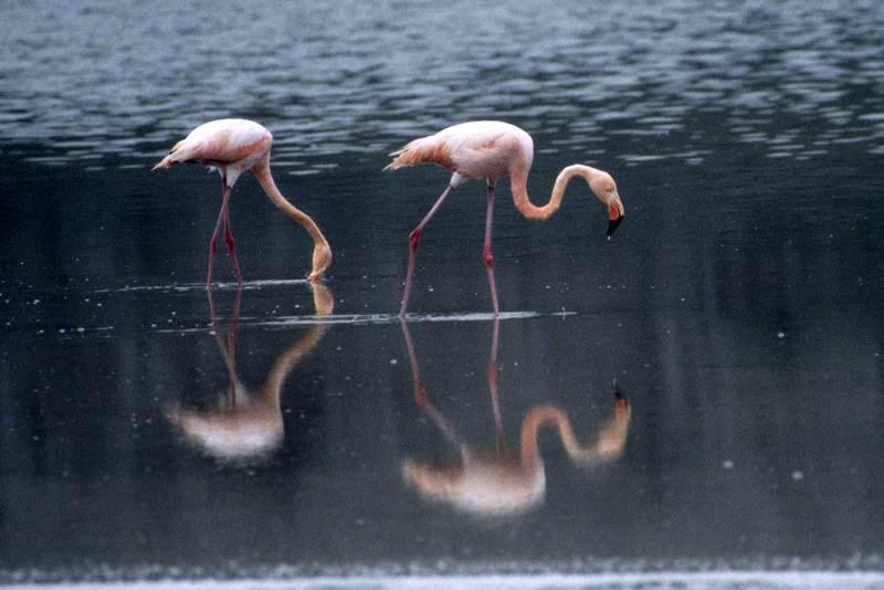 Flamingo Lagoon at Punta Cormorant, Floreana Island