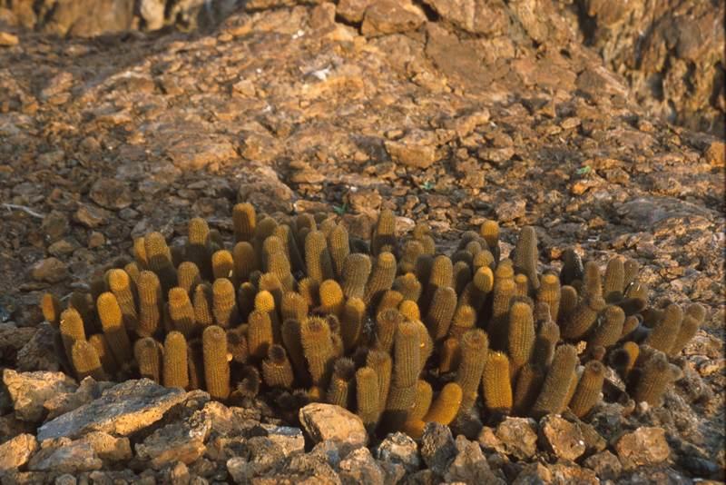 Lava Cactus, Fernandina Brachycereus nesioticus