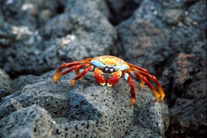 Sally Lightfoot Crab Grapsus grapsus