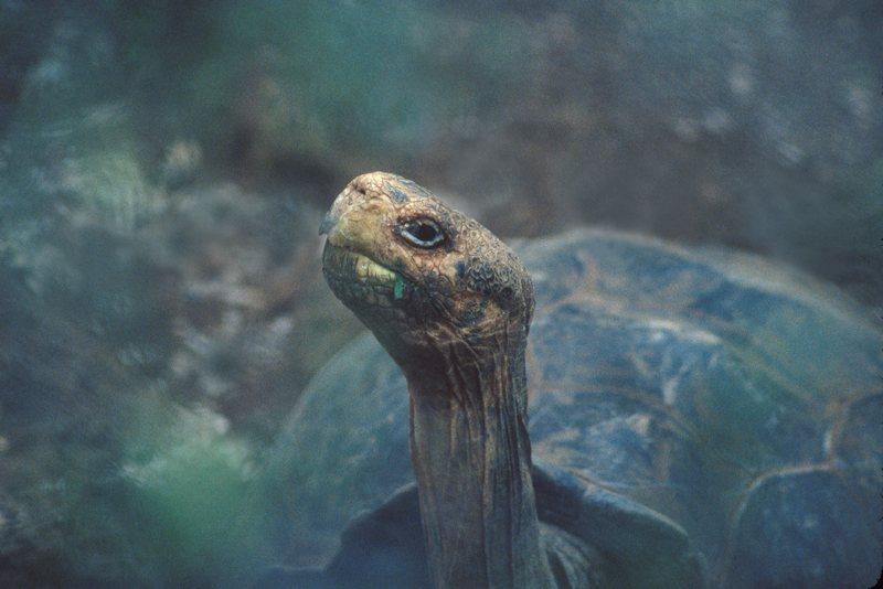 Giant Tortoise Geochelone sp. Santa Cruz (Indefatigable)