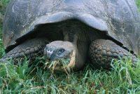 Giant Tortoise, Migrating Geochelone sp. Genovesa (Tower Island)