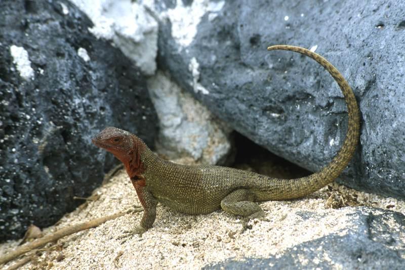 Lava Lizard Tropidurus albermarlensis