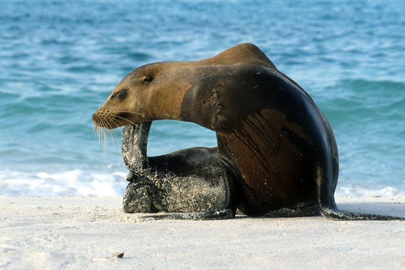 Sea Lion Zalophus californianus Gardner Bay, Española (Hood Island)