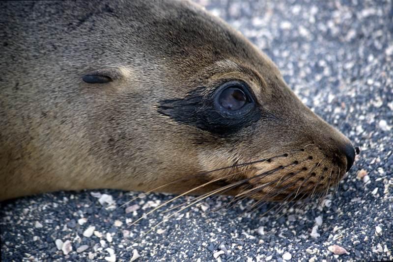 Sea Lion Zalophus californianus Santiago (James Island)