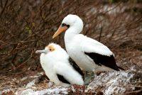 Baby Frigatebird with Nazca Booby Fregata magnificens & F. minor and Sula granti Genovesa (Tower Island)