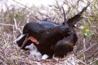 Great Frigatebird with Chick Fregata magnificens & F. minor Genovesa (Tower Island)