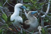 Red-footed Booby, Dimorphism Sula sula Genovesa (Tower Island)