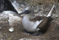 Blue-footed Booby and Chick Genovesa Sula granti (Tower Island)
