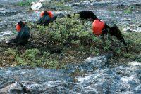 Male Frigatebirds Attracting Mates Fregata magnificens & F. minor Genovesa (Tower Island)
