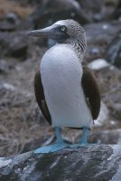 Blue-footed Booby Sula nebouxii Genovesa (Tower Island)