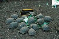 Galapagos Giant Tortoise Geochelone elephantopus Puerto Ayora, Santa Cruz